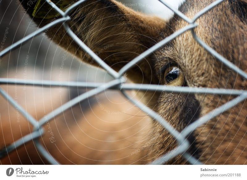 Animal Eyes Brown Ear Animal face Pelt Pet Self-confident Farm animal Enclosure Goats Blur Wire netting fence Petting zoo Goatskin