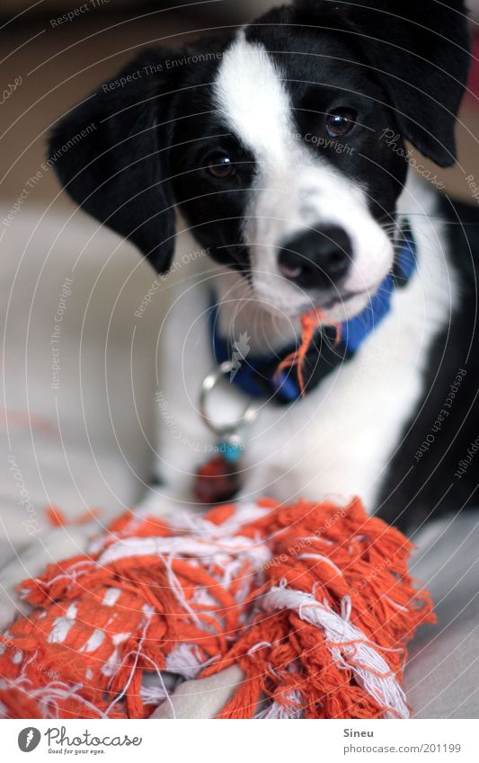 Who, me??? Playing Animal Pet Dog Animal face 1 Baby animal Beautiful Astute Funny Smart Crazy Black White Joy Life Puppy Rip Fluff Muzzle Orange Toys Dappled