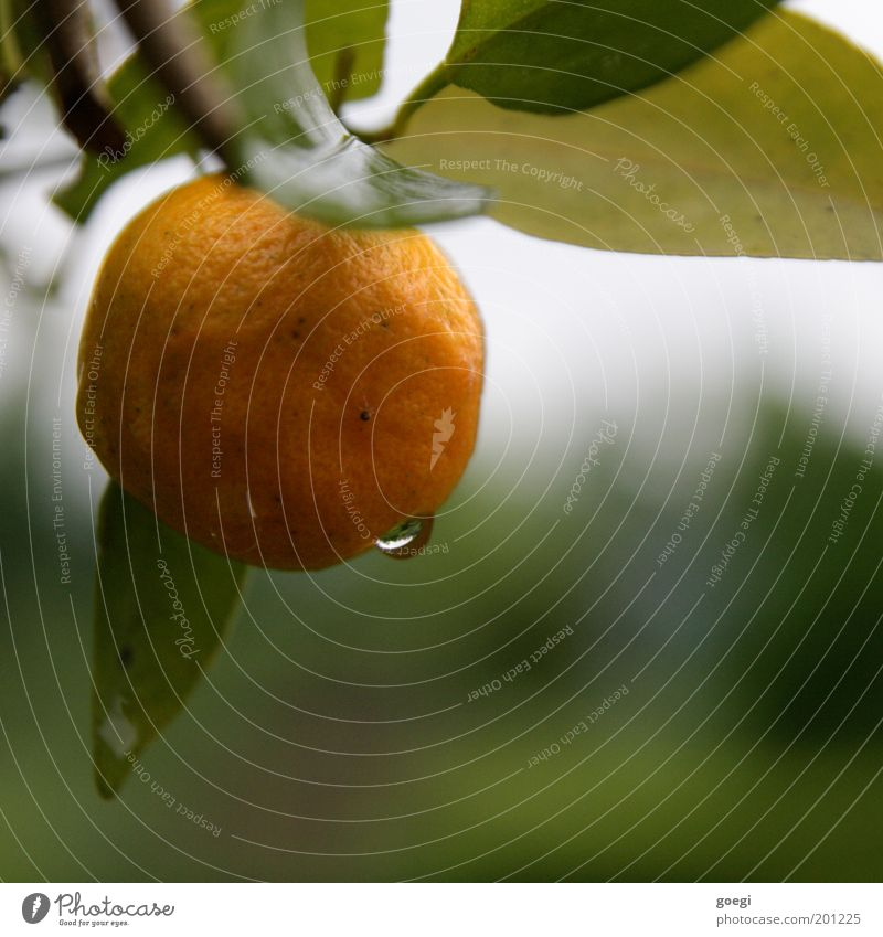 Nature Water Tree Green Plant Leaf Yellow Orange Orange Healthy Drops of water Fruit Branch Natural Hang Fruity