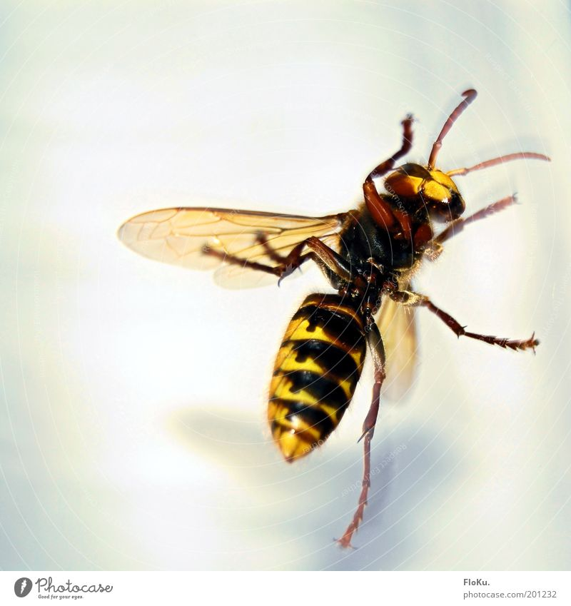"""how big can she...? HOLY SHIT!"" Animal Wild animal Wing 1 Threat Large Creepy Near Yellow Black White Fear Dangerous Respect Insect Wasps Hornet Hymenoptera"