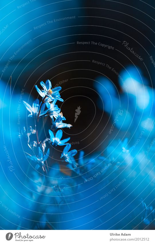 Blue star (Scilla) Elegant Design Harmonious Well-being Relaxation Calm Meditation Arrange Decoration Wallpaper Image Poster Card Nature Plant Spring Flower