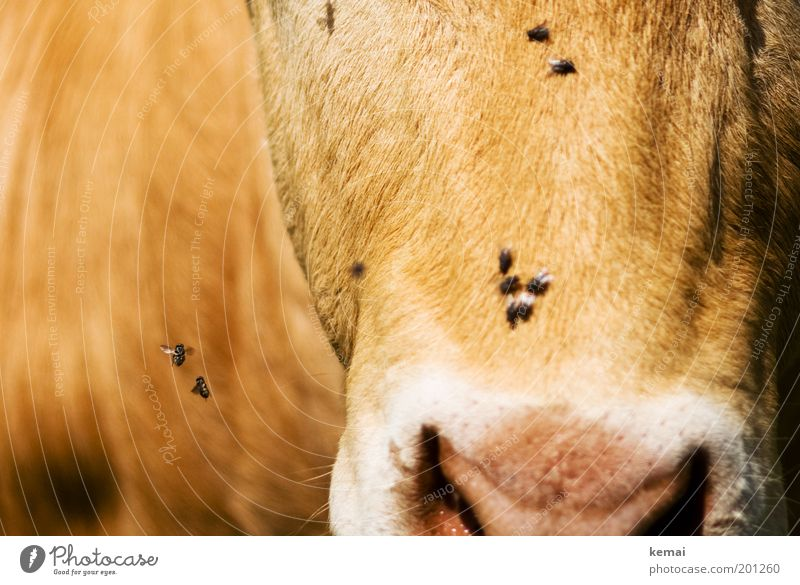 Buzzed around Animal Agriculture Country life Farm animal Animal face Pelt Cow Cattle Bull Dairy cow Nose Fly Nostrils 1 Flying Brown buzz whirl round Wing