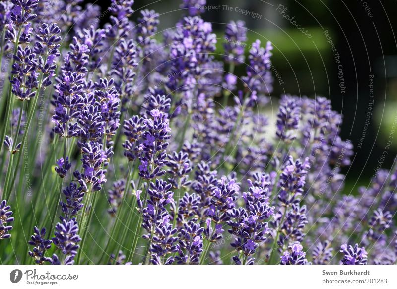 A breath of lavender in the air Fragrance Environment Nature Plant Summer Blossom Lavender Garden Green Violet Calm Contentment Relaxation Transience Odor
