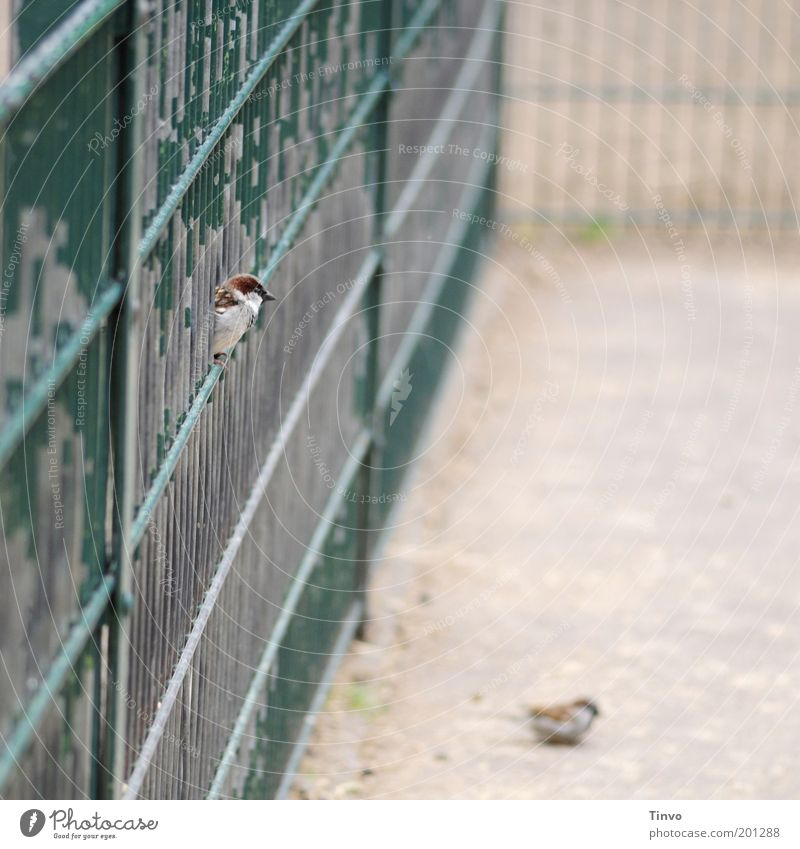Old Green Animal Park Bird Sit Observe Curiosity Fence Grating Enclosure Sparrow Attentive Flake off Foraging Fenced in
