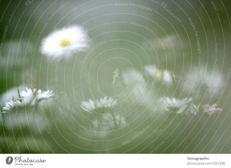 Bellis perennis Summer Nature Spring Bad weather Fog Plant Flower Grass Blossom Garden Meadow Blossoming Yellow Mysterious Daisy Marguerite Shroud of fog Blur