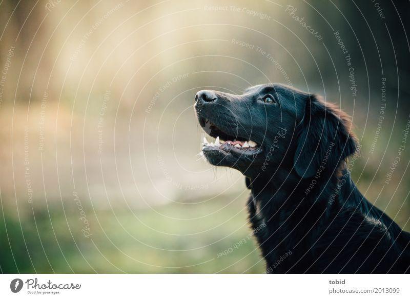 Paula Pt.3 Pet Dog Animal face Pelt 1 Observe Crouch Wait Friendliness Soft Black Joy Joie de vivre (Vitality) Curiosity Labrador retriever Colour photo