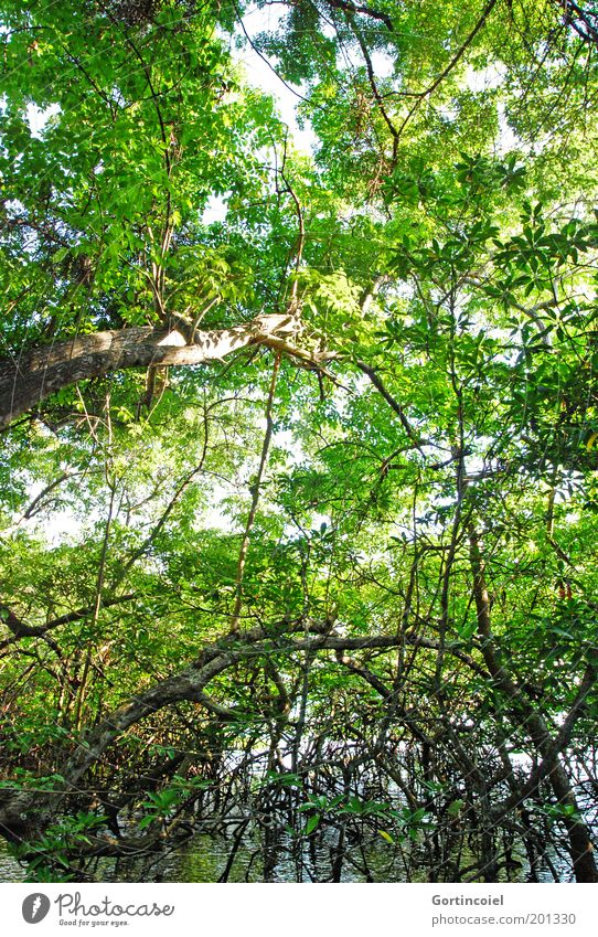 Bali Mangrove Environment Nature Plant Water Summer Tree Virgin forest Lakeside Green Branchage Root Leaf canopy Wild Wilderness mangrove forest Asia