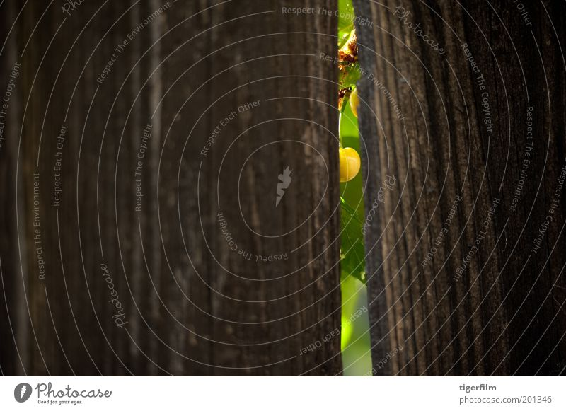 peek a boo cherry Nature Green Wood Lamp Background picture Fruit Peak Fence Grain Crack & Rip & Tear Left Behind Cherry Single Opening Mountain
