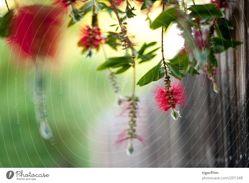 hanging bottlebrush in the wind Nature Tree Flower Green Plant Red Leaf Wind Bushes Fence Depth of field Pollen Death Stamen Brush