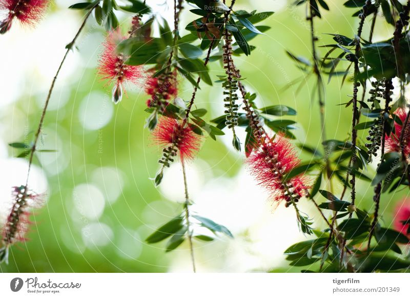 bottlebrush flower against the light Flower Brush Red Bright red Green Greeny-red Hanging Wind Leaf Plant Tree Nature Callistemon Bushes brush like Stamen