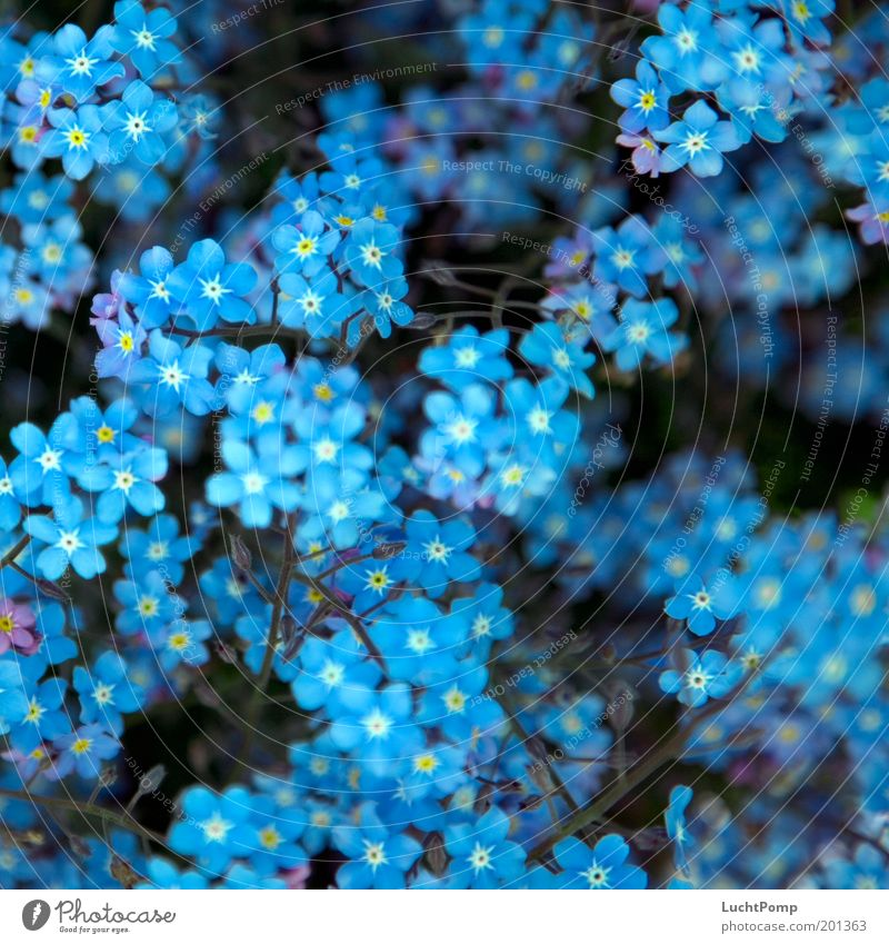 Forget it. Mine. Don't. Don't. Forget-me-not Plant Blossom leave Botany Twig Twigs and branches Blue Blue-white Blue tone Garden Summer Spring Spring fever