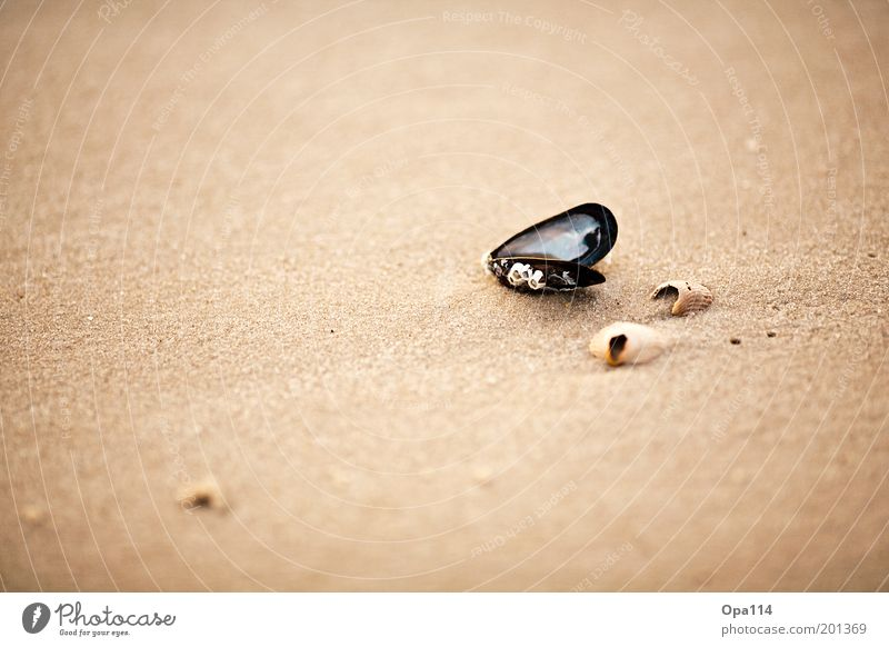 seashell Environment Nature Sand Summer Beautiful weather Coast Beach North Sea Ocean Discover To enjoy Looking Esthetic Firm Brown Gold Gray Black White Hope