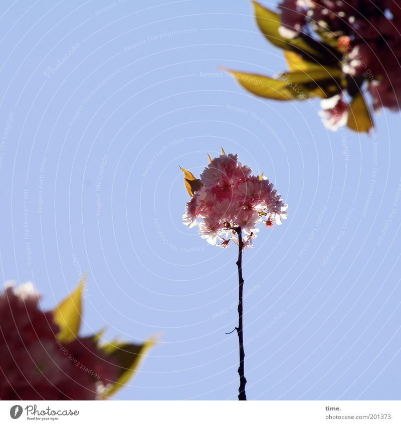 nuclear family Cherry ornamental niches Spring Blossom Plant Tree Sky Branch Twig Pink Depth of field Blur Exterior shot Back-light Protection Testing & Control