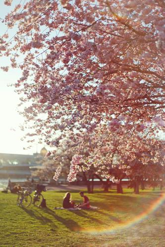Nature Sun Spring Pink Esthetic Idyll Blossoming Cycling Romance Dresden Picnic Spring fever Lens flare Cherry tree Spring day Spring colours