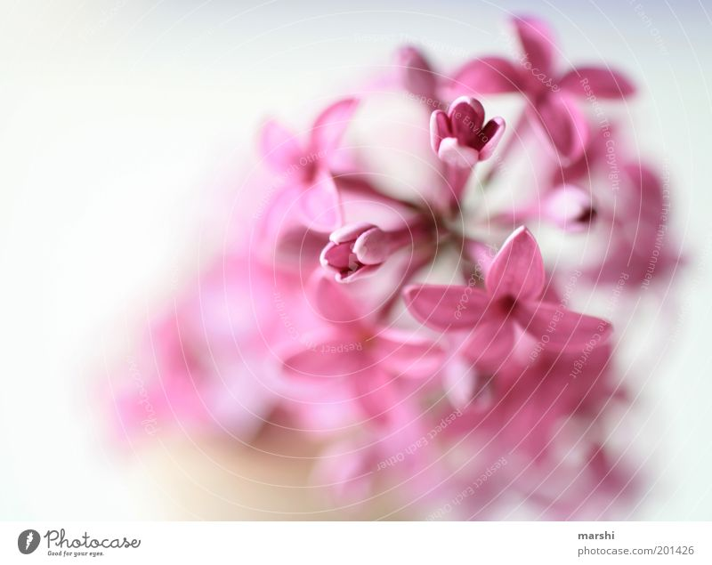 a hint of nothing Nature Spring Summer Plant Flower Pink Delicate Soft Lilac Blossom leave Colour photo Interior shot Blur Deserted Violet Fragrance Close-up