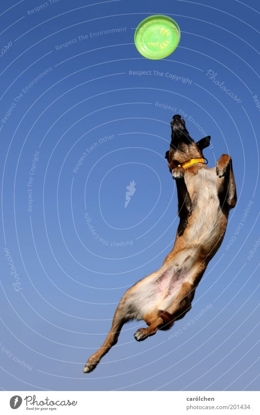 Dog Blue Green Animal Jump Power Leisure and hobbies Flying Force Crazy Catch Fitness Sports Training Pet Frisbee Belgian Shepherd Dog
