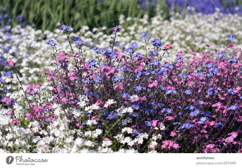 sea of flowers Nature Plant Spring Summer Flower Blossom Forget-me-not Garden Park Blossoming Beautiful Small Blue Multicoloured Green Violet Pink White Happy