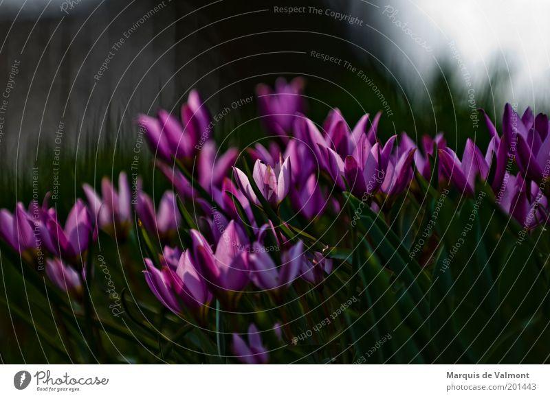 Nature Flower Green Plant Dark Blossom Spring Garden Park Pink Violet Curiosity Fragrance Tulip Attachment Juicy