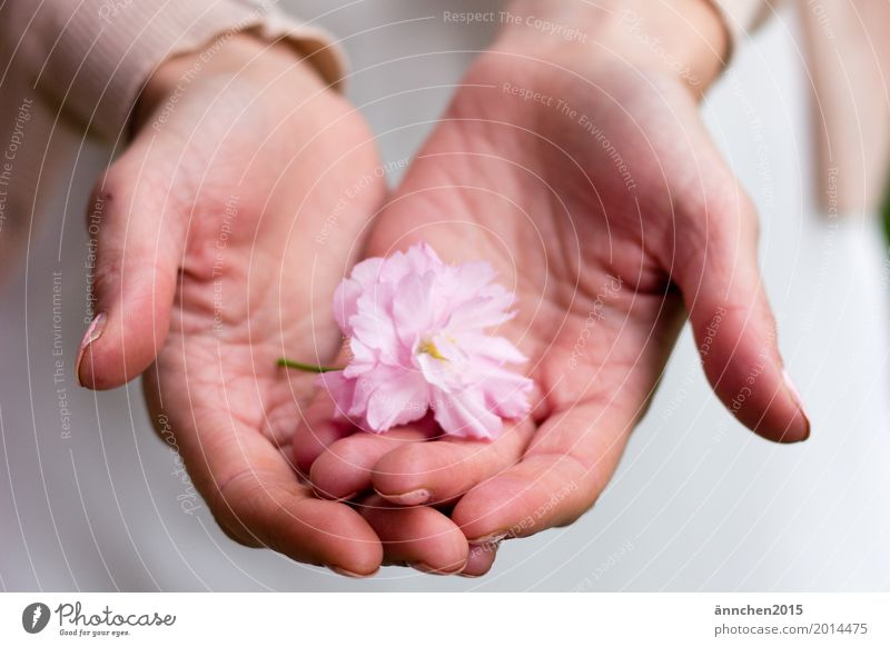 blossom Blossom To hold on Pink Flower Cherry blossom Hand Protect powdery Pastel tone Delicate Love