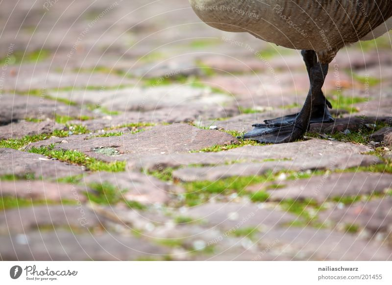Nature Green Animal Brown Going Animal foot Environment Wild animal Cobblestones Pet Goose Farm animal Wild goose