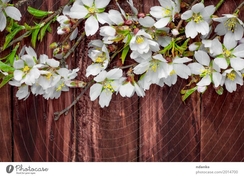 Flowering almond branches on a brown wooden surface Nature Plant Beautiful White Tree Leaf Blossom Natural Wood Brown Pink Fruit Fresh Retro Table