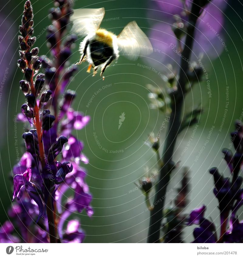 They're flying again Plant Animal Blossom Garden Bee Wing 1 Gold Green Violet Buzz Hover Flying Diligent Summer Colour photo Motion blur Flower Deserted
