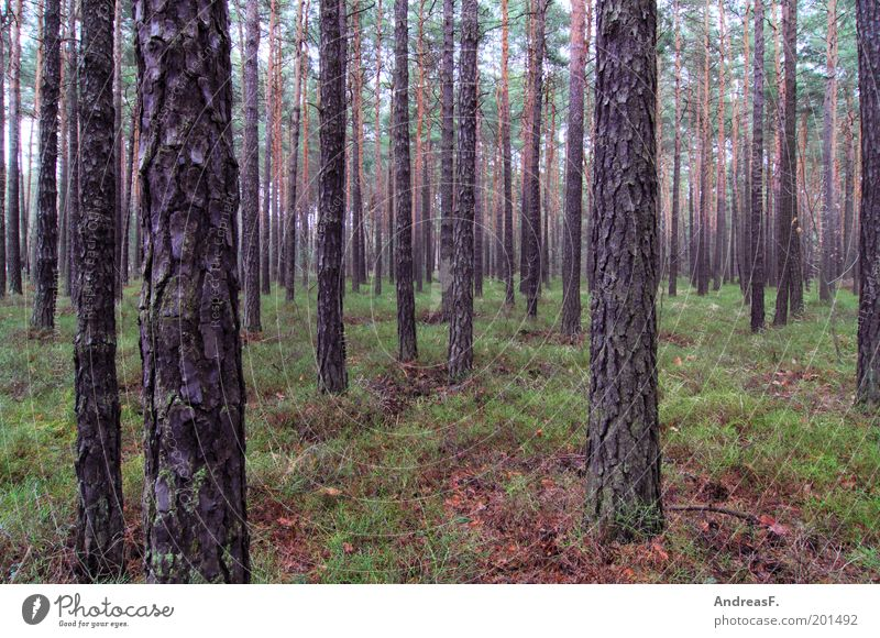 forest Agriculture Forestry Environment Nature Landscape Plant Tree Environmental protection Coniferous forest Coniferous trees Moss Pine Brandenburg Woodground