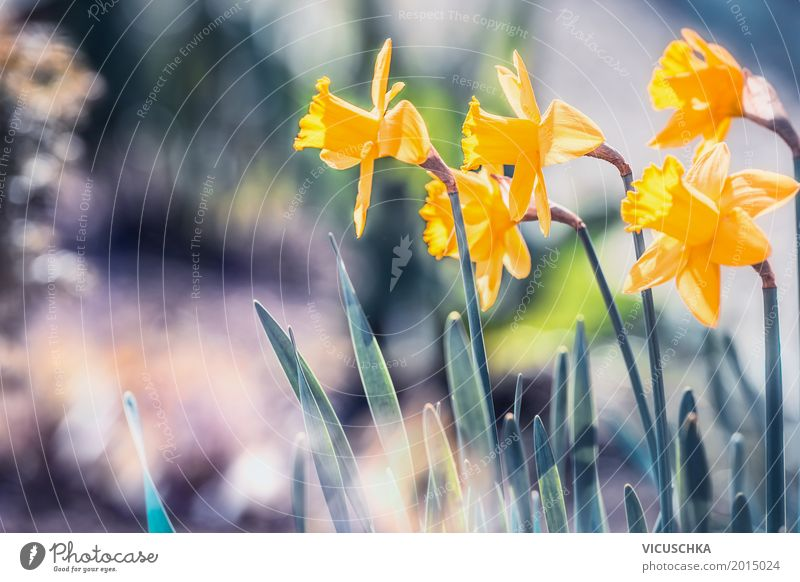 Beautiful daffodils in the garden Design Summer Garden Nature Plant Sunlight Spring Beautiful weather Flower Leaf Blossom Park Blossoming Love Yellow