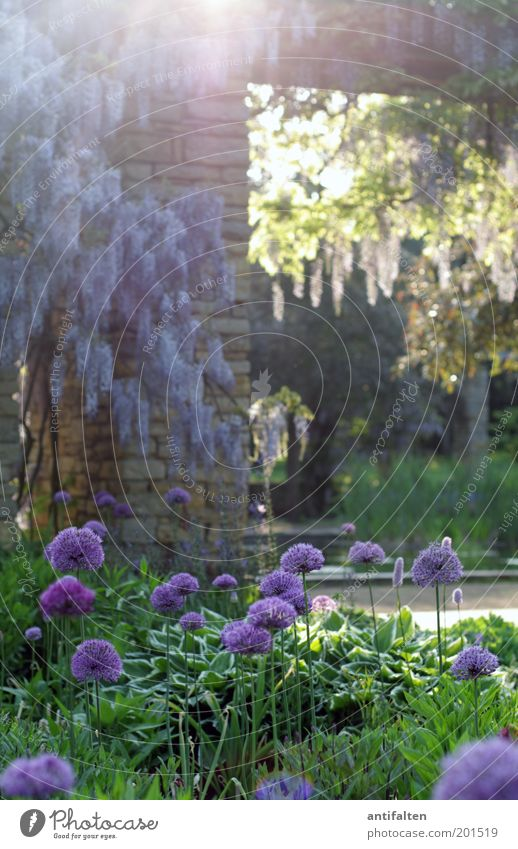 Pure Romanticism Trip Summer Sun Nature Plant Sunlight Spring Beautiful weather Warmth Tree Flower Blossom Foliage plant Tendril Lilac Garden Park Meadow