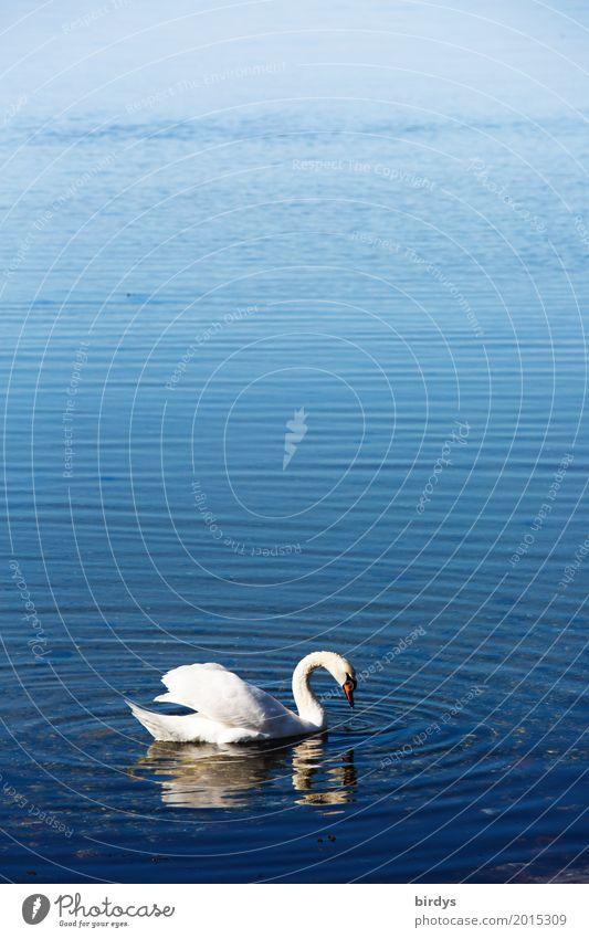 White-collared Swan Water Beautiful weather Baltic Sea Lake Wild animal 1 Animal Swimming & Bathing Esthetic Positive Blue Romance Calm Freedom Ease Nature