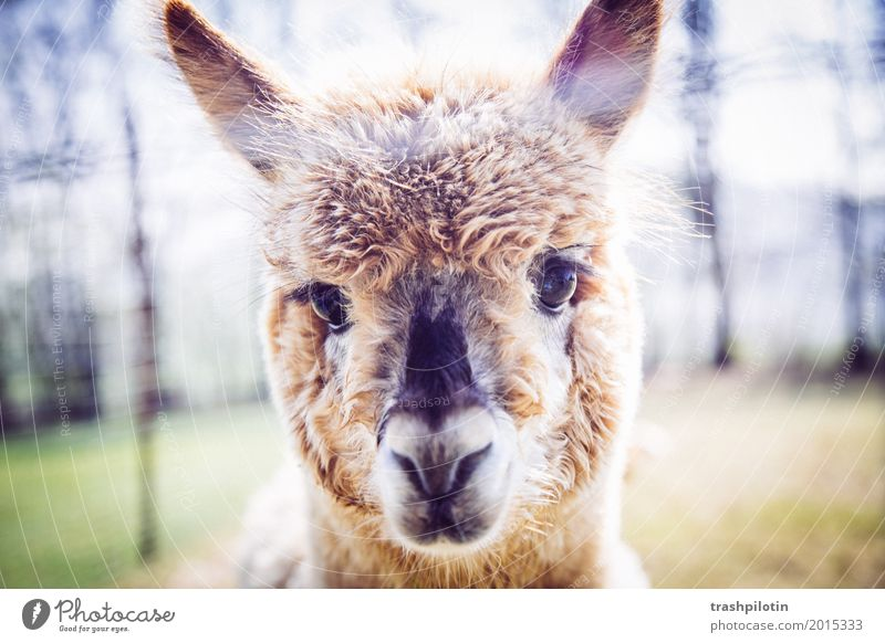 alpaca Animal Pet Farm animal Wild animal Animal face Pelt Zoo Petting zoo Alpaca 1 Cuddly Cute Joie de vivre (Vitality) Colour photo Exterior shot Blur