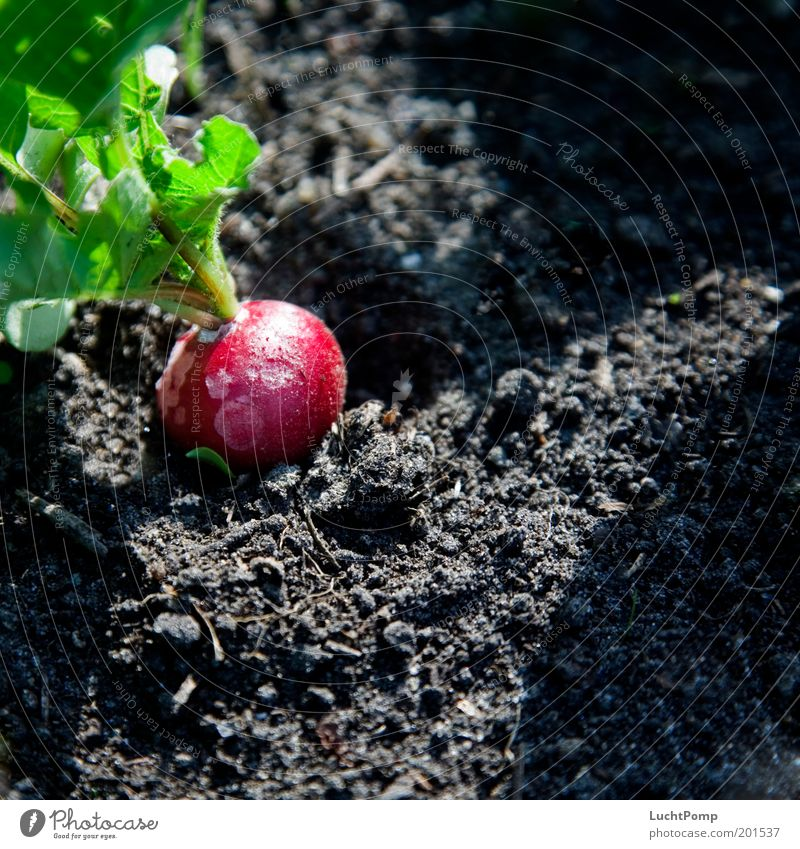 Unsprayed Garden Gardening Garden Bed (Horticulture) Radish Greeny-red Red Black Earth Harvest Organic farming Organic produce Light and shadow Sunlight Mature