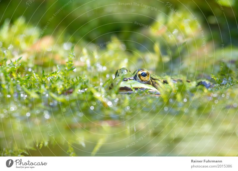 Portrait of a frog in a pond Environment Nature Plant Animal Water Spring Garden Park Bog Marsh Pond Farm animal Frog pond frog 1 Contentment Love of animals