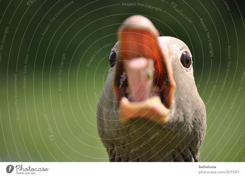 Animal Eyes Head Bird Wild animal Threat Feather Protection Anger Scream Beak Tongue Aggression Nerviness Goose Morning