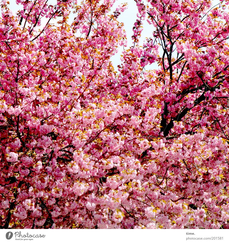 extended family Spring Blossom Plant Tree Branch Twig Pink Depth of field Exterior shot Protection Growth Fresh Explosive Lush Deciduous tree Cherry blossom