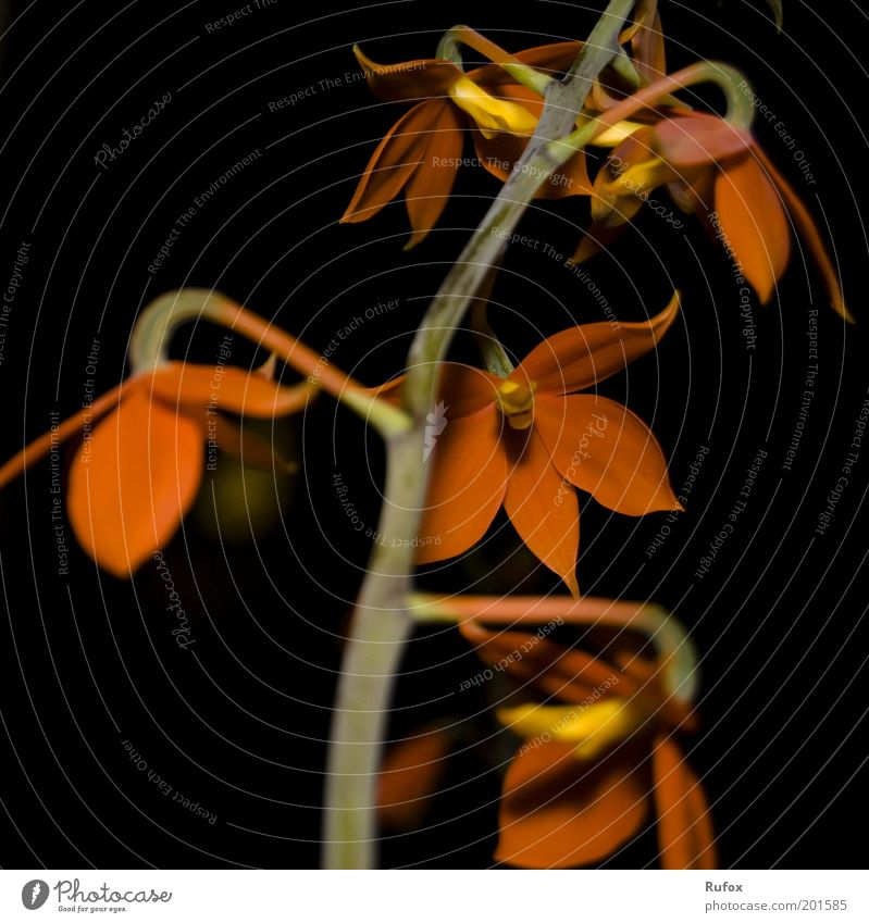 same-trunk Nature Plant Flower Exotic Esthetic Beautiful Brown Yellow Green Red Black Flower stalk Leaf Blossom Flowering plants Neutral Background