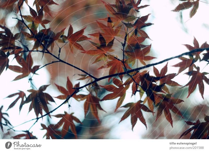 Nature Red Leaf Colour Autumn Moody Brown Environment Perspective Esthetic Authentic Natural Branchage Leaf canopy Maple leaf