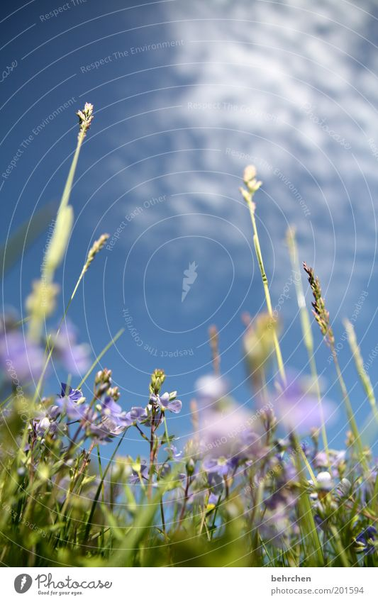 Nature Sky Flower Blue Plant Summer Calm Clouds Meadow Blossom Grass Spring Dream Contentment Power Field