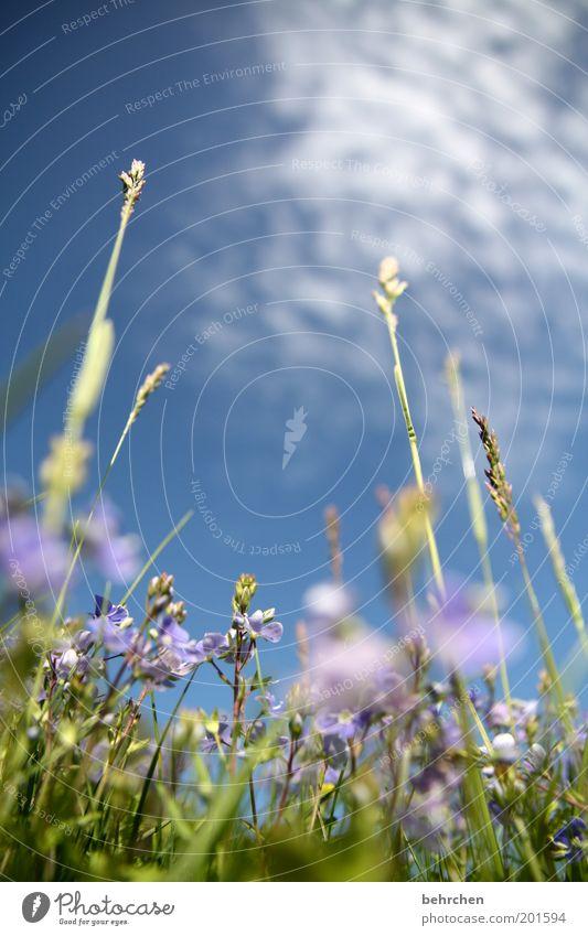 Nature Sky Flower Blue Plant Summer Calm Clouds Meadow Blossom Grass Spring Dream Contentment Power Field