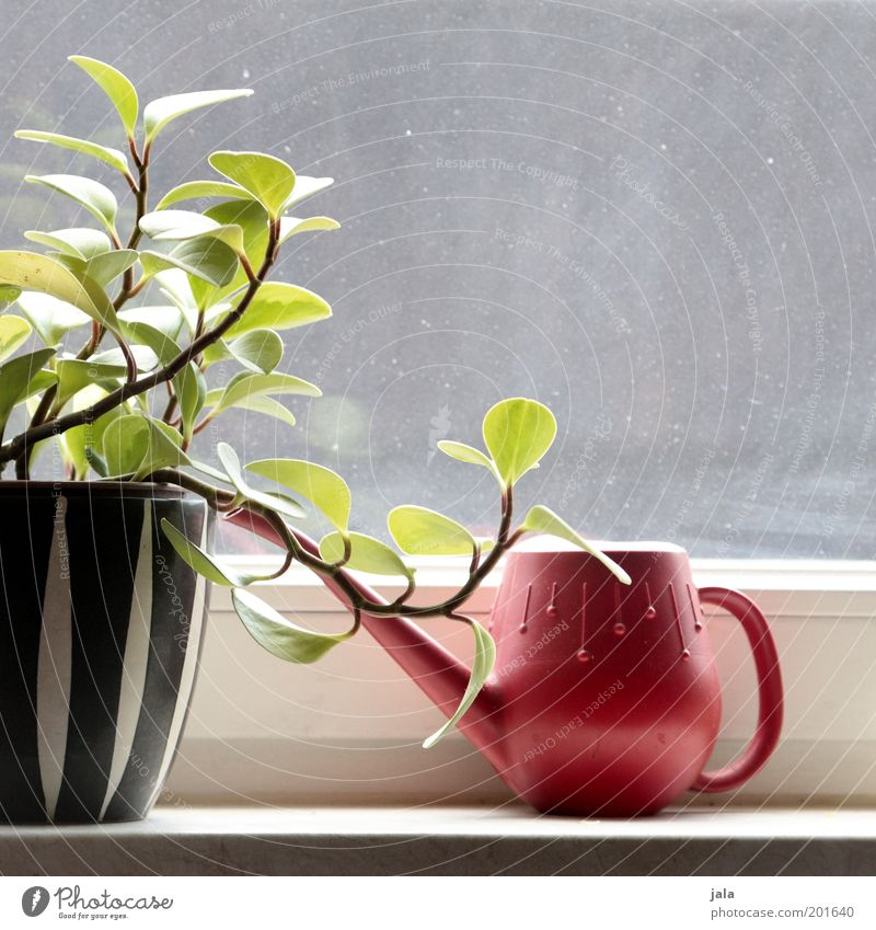 windowsill Plant Pot plant Window Watering can Flowerpot Glass Esthetic Beautiful Red Black White Retro The fifties Sixties Colour photo Interior shot Day