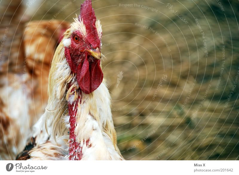 Happy chickens look different! Animal Farm animal Bird 1 Old Hideous Emotions Perturbed Barn fowl Livestock breeding Agriculture Feather Sadness