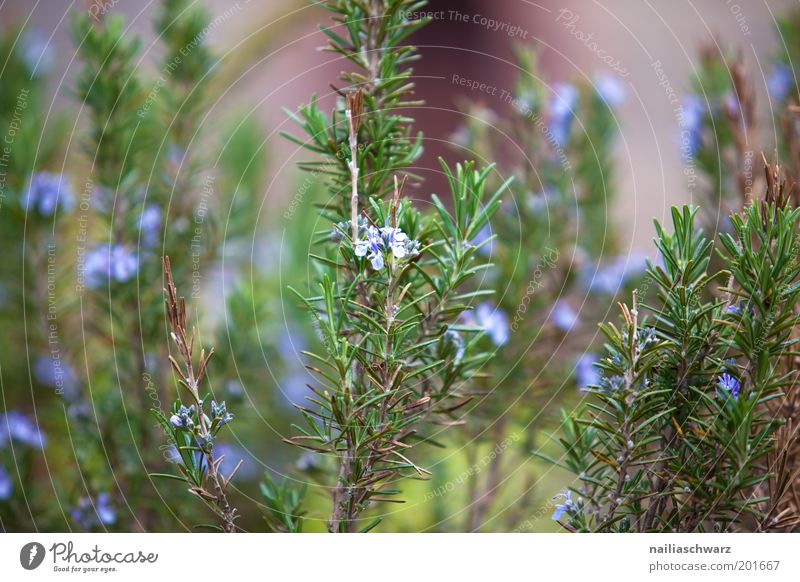 Nature Green Blue Plant Garden Environment Violet Herbs and spices Agricultural crop Rosemary Herbs Herb garden