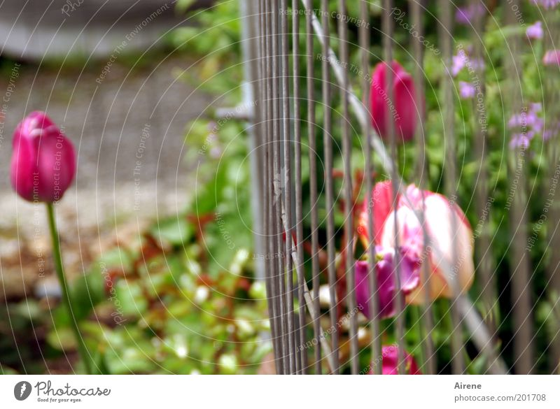 Nature Green Plant Flower Loneliness Gray Garden Sadness Metal Pink Communicate Longing Blossoming Stalk Fence Fragrance