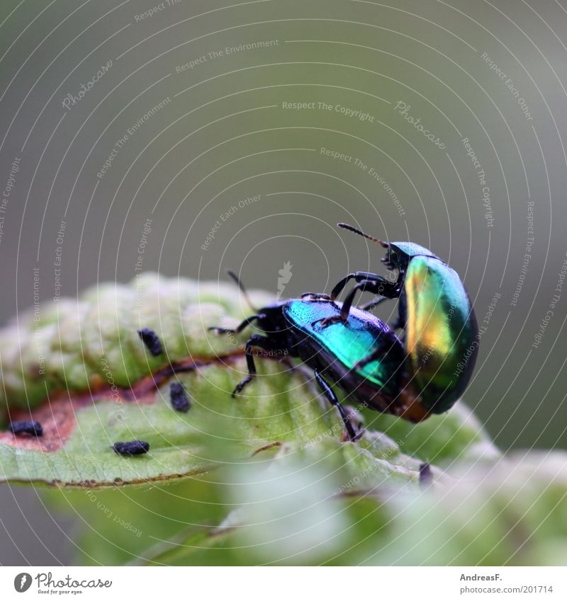love of animals Environment Nature Animal Leaf Beetle 2 Spring fever Insect Colour photo Exterior shot Close-up Detail Macro (Extreme close-up) Copy Space top