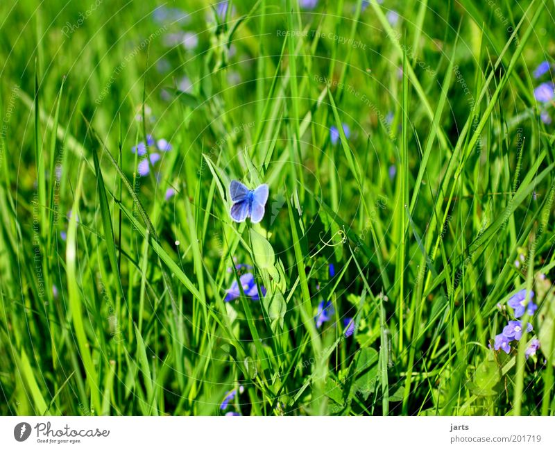 flower meadow Plant Flower Grass Meadow Animal Wild animal Butterfly 1 Blossoming Fragrance Wait Natural Nature Hide Camouflage Blue Colour photo Exterior shot