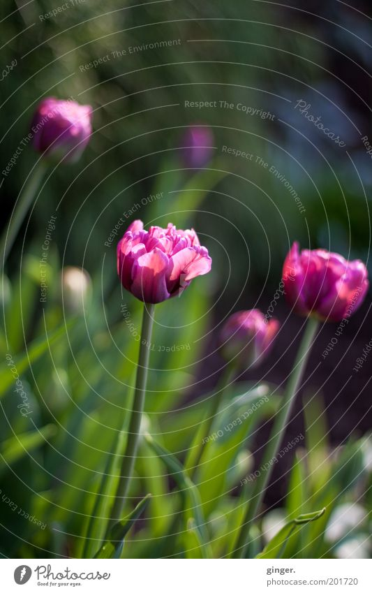 vanitas Nature Plant Spring Beautiful weather Tulip Blossom Garden Blossoming Flowerbed Calyx Contrast Deserted Violet Green Blossom leave Colour photo