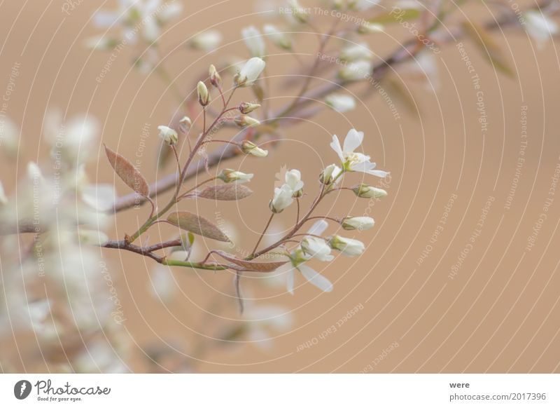 Rock pear blossoms Garden Nature Plant Spring Tree Flower Bushes Blossom Fragrance Elegant Warmth amelanchic Branch Harvest rock pear flora and fauna Geography