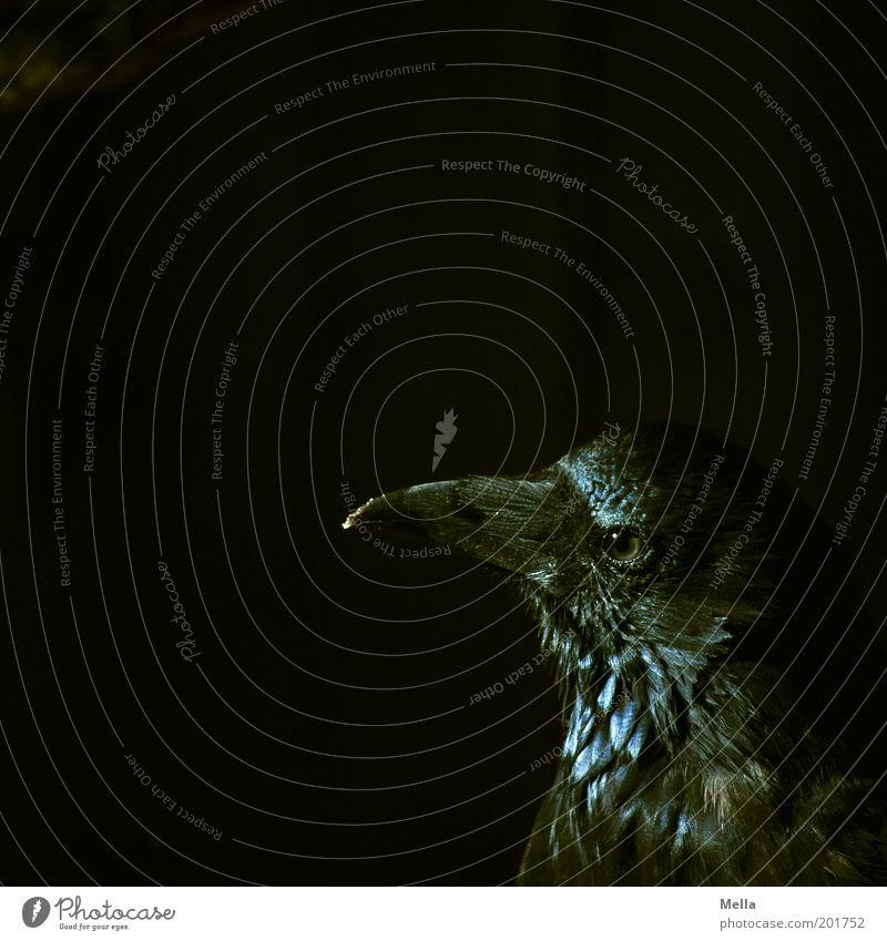 raven black Animal Bird Animal face Raven birds Beak 1 Observe Looking Dark Curiosity Black Wisdom Smart Colour Mysterious Mystic Eerie Creepy Colour photo