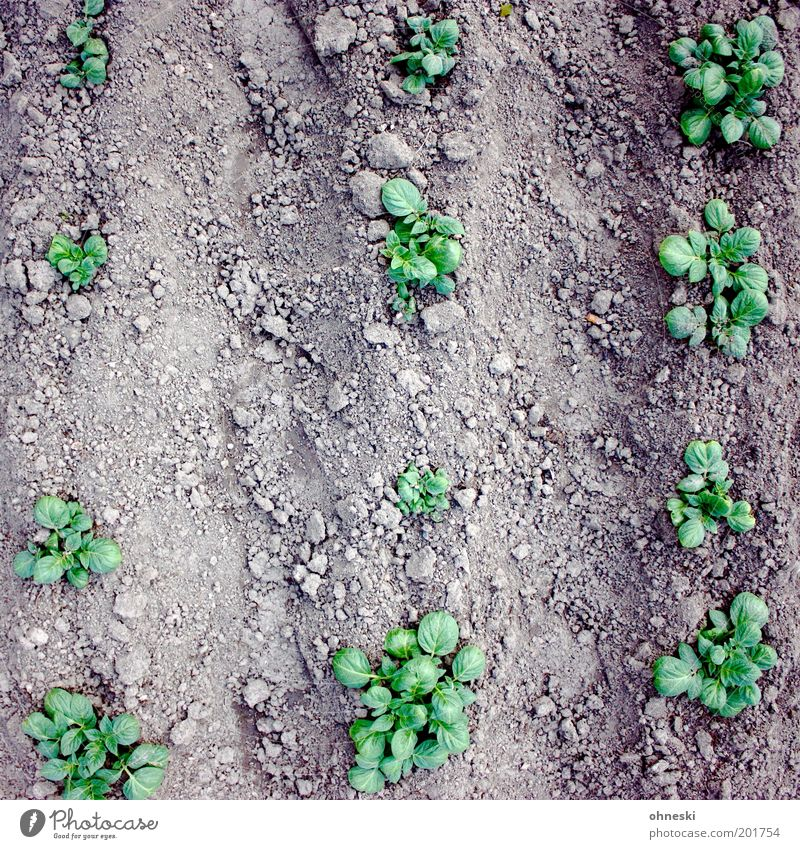 vegetable garden Environment Nature Plant Leaf Agricultural crop Potato field Potatoes Garden Field Natural Green Organic produce Organic farming Agriculture