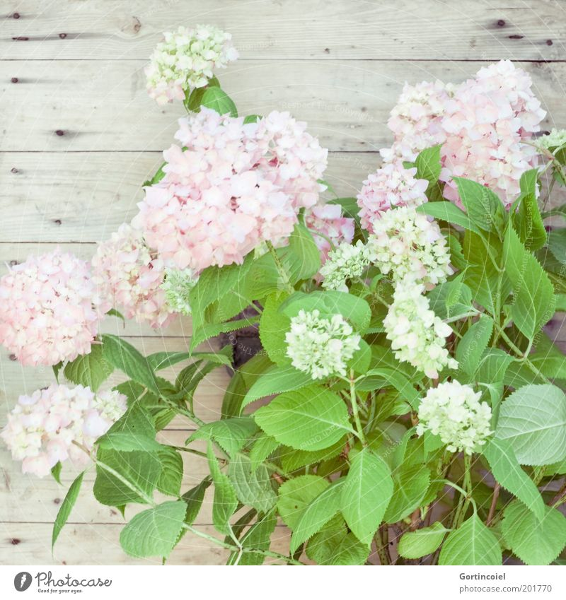hydrangea Style Decoration Plant Spring Summer Flower Leaf Blossom Pot plant Bright Beautiful Delicate Hydrangea Hydrangea blossom Hydrangea leaf